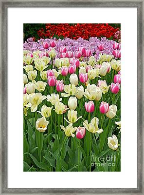 A Field Of Tulips Framed Print by Eva Kaufman