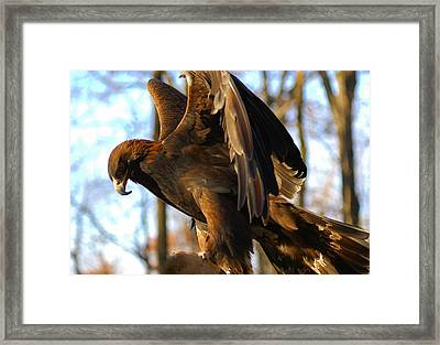 A Golden Eagle Framed Print by Raymond Salani III