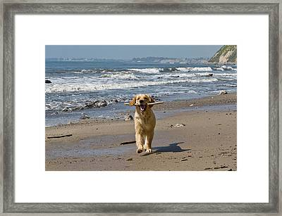 A Golden Retriever Walking With A Stick Framed Print
