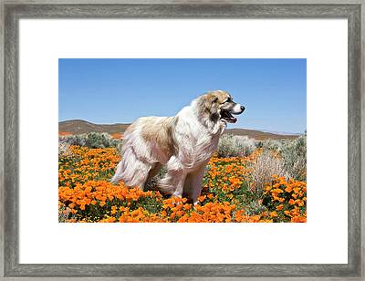 A Great Pyrenees Standing In A Field Framed Print by Zandria Muench Beraldo