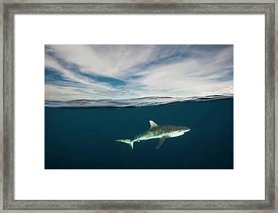 A Grey Reef Shark Swims In Kimbe Bay Framed Print