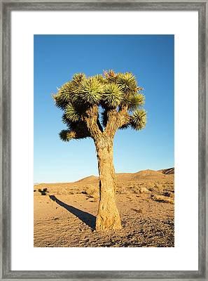 A Joshua Tree Framed Print by Ashley Cooper