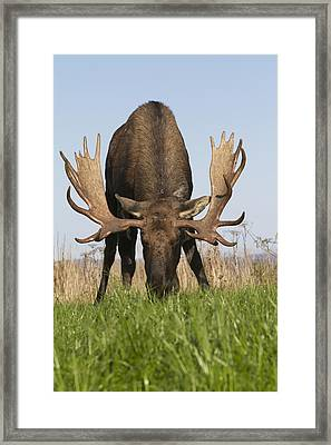 A Large Bull Moose Feeds Near Point Framed Print by Doug Lindstrand