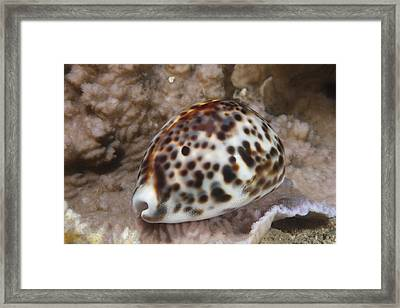 A Large Tiger Cowrie, Fiji Framed Print