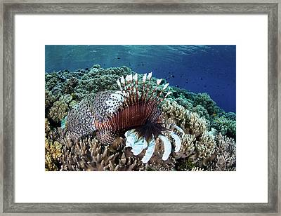 A Lionfish Swims Along The Edge Framed Print by Ethan Daniels