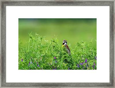 A Male Dickcissel  Spiza Americana Framed Print by Robert L. Potts
