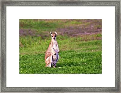 A Male Grey Kangaroos (macropus Framed Print