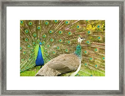 A Male Peacock Displaying To A Female Framed Print by Ashley Cooper
