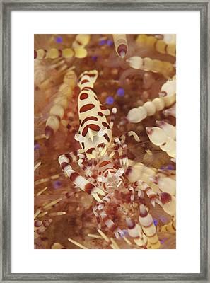 A Pair Of Colorful Coleman Shrimp Framed Print by Steve Jones