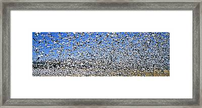 A Panoramic Of Thousands Of Migrating Framed Print
