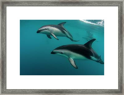 A Pod Of Dusky Dolphins (lagenorhynchus Framed Print by James White