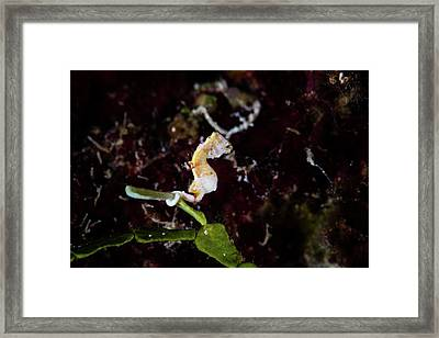A Pontohi Pygmy Seahorse Hippocampus Framed Print by Ethan Daniels