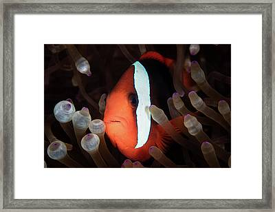 A Red And Black Anemonefish Swims Among Framed Print by Ethan Daniels