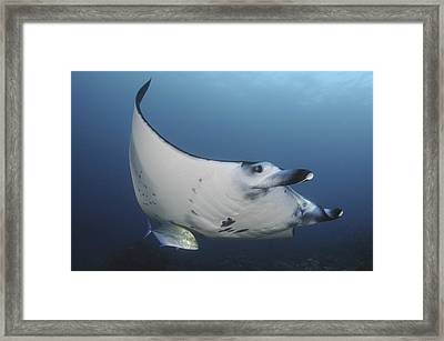 A Reef Manta Ray Swimming In Komodo Framed Print