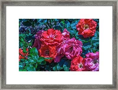 A Rose Is A Rose Framed Print