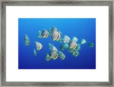 A Small School Of Batfish Swim In Kimbe Framed Print by David Doubilet
