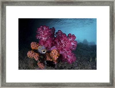 A Soft Coral Colony And Invertebrates Framed Print