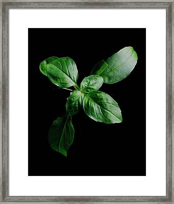 A Sprig Of Basil Framed Print by Romulo Yanes