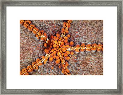 A Tiny Shrimp Periclimenes Soror Lives Framed Print