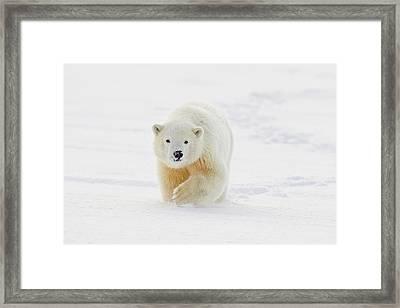 A Yearling Polar Bear Cub Plays Framed Print by Hugh Rose