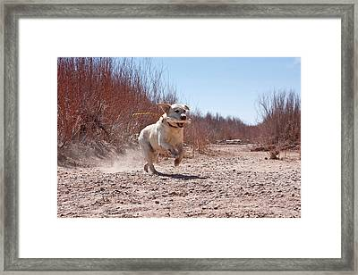 A Yellow Labrador Retriever Running Framed Print