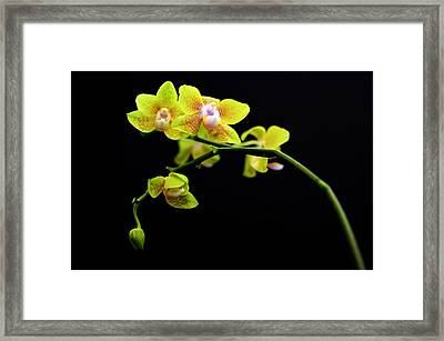 A Yellow Orchid  Framed Print by Tommytechno Sweden