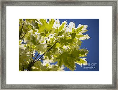 Acer Platanoides Drummondii Framed Print by Dr. Keith Wheeler