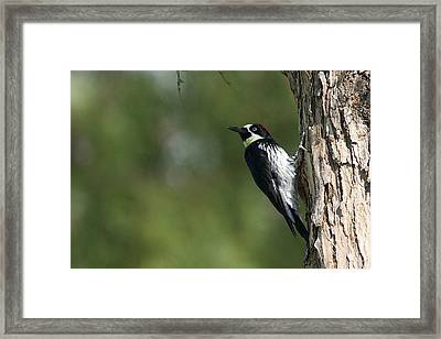 Framed Print featuring the photograph Acorn Woodpecker - Melanerpes Formicivorus - Pic Glandivore by Nature and Wildlife Photography