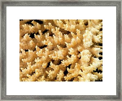 Acropora Cytherea Framed Print by Natural History Museum, London