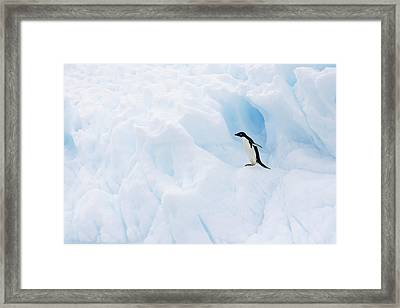 Adelie Penguin On Iceberg Framed Print by Suzi Eszterhas
