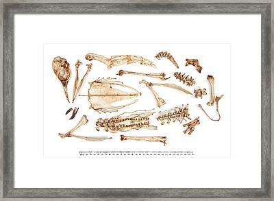 Adelie Penguin Skeleton Framed Print by Natural History Museum, London