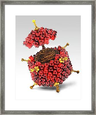 Adenovirus Structure Framed Print by Ramon Andrade 3dciencia/science Photo Library
