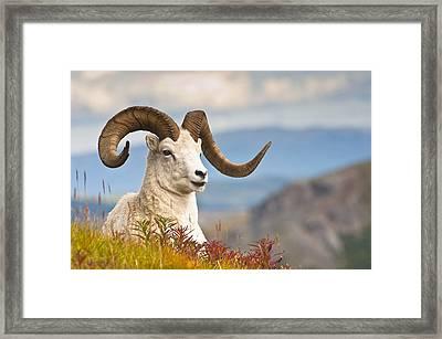Adult Dall Sheep Ram Resting Framed Print by Michael Jones