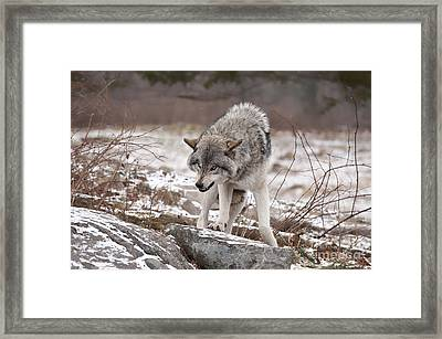 Framed Print featuring the photograph Adult Timber Wolf by Wolves Only