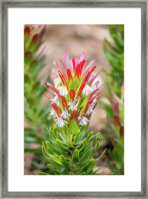 Africa, South Africa, Cape Town Framed Print