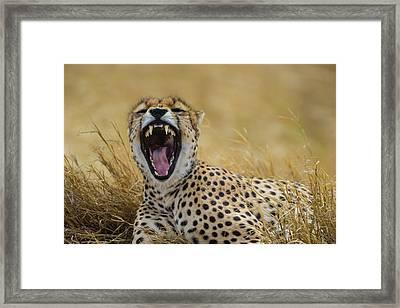 Africa Tanzania Cheetah (acinonyx Framed Print