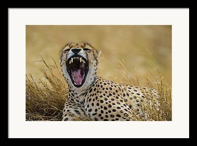 Cheetah Framed Prints