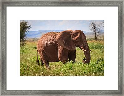 African Desert Elephant Framed Print