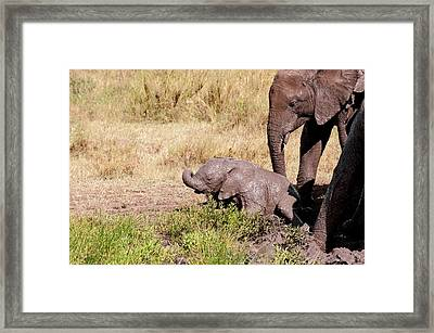 African Elephant Family At A Mud Bath Framed Print by Science Photo Library