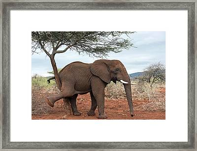 African Elephant Grooming Framed Print