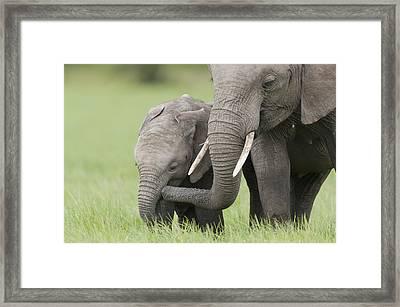 African Elephant Juvenile And Calf Kenya Framed Print