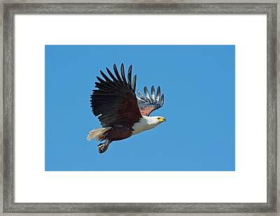 African Fish Eagle In Flight Framed Print by Tony Camacho