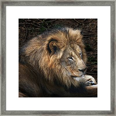 African Lion Framed Print by Tom Mc Nemar
