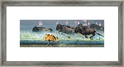 African Lioness Panthera Leo Hunting Framed Print by Panoramic Images