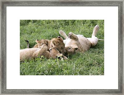 African Lions Framed Print by PhotoStock-Israel