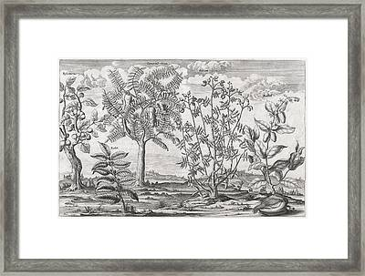 African Plants, 17th Century Framed Print
