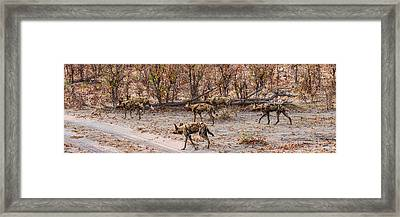 African Wild Dogs Lycaon Pictus Framed Print