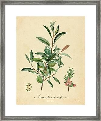 After A. Poiteau, Amandier De La Georgie Framed Print