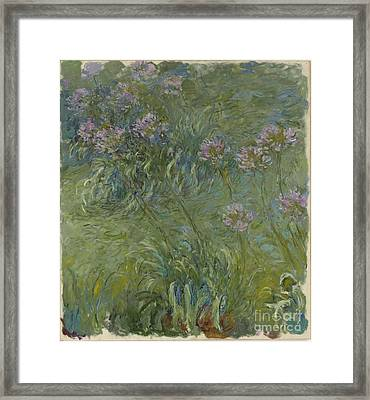 Agapanthus Framed Print by Claude Monet