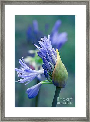 Agapanthus Orientalis - Lily Of The Nile Framed Print